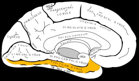 人腦辨識臉部能力