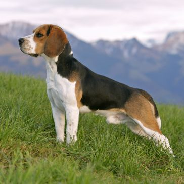 beagle-RolfKopfle-Photolibrary-Getty-135631212-56a26b1d3df78cf772756667