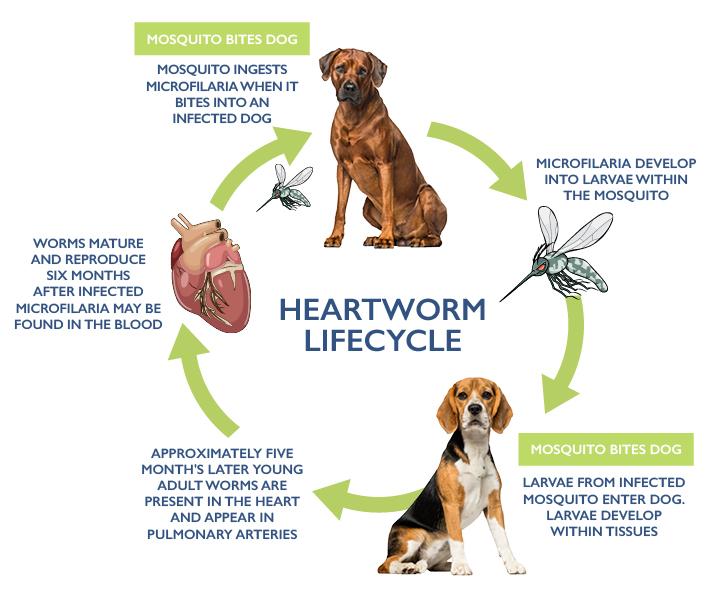 HEARTWORM-DIAGRAM