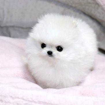 Tiny_fluffy_pomeranian_puppy_5669086161