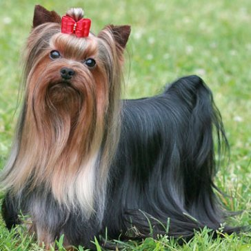 Yorkshire-Terrier-2-645mk062911
