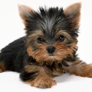 yorkshire-terrier-full-screen-high-resolution-wallpaper-images-free-desktop-background-pets-puffy-dogs-download-1920x1200