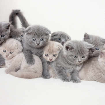 1200-487567929-british-shorthair-kittens