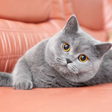 british-shorthair-cats-and-kittens-5