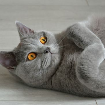 british-shorthair-cats-and-kittens-7