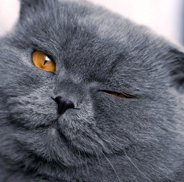 british-shorthair3