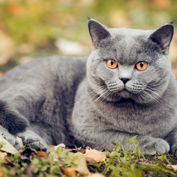 British_shorthair_hero850