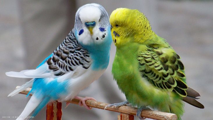 budgie-parrots-budgerigars-birds-blue-green