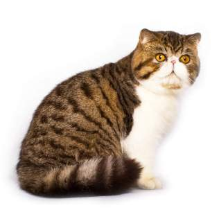 Cat-Exotic_Shorthair-A_pretty_tabby_bicolour_exotic_shorthair_with_a_pink_button_nose