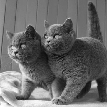 ed0f50ed32324fb8d0718c31f5cde857--british-blue-kitten-british-shorthair-cats-blue