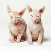 Two sphynx kittens on white background