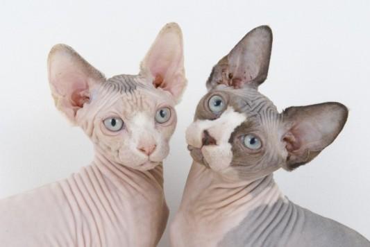 hairless-cat-breeds-rex