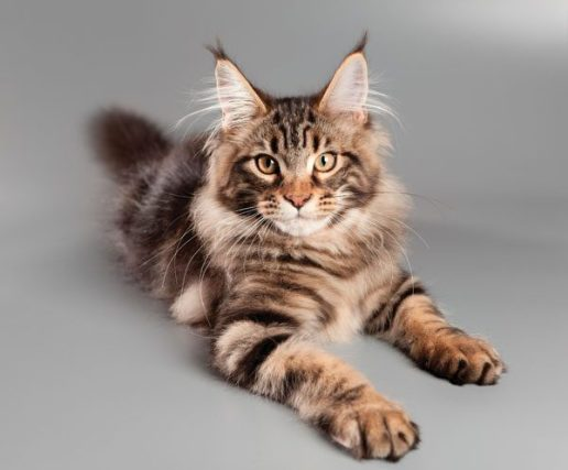 maine-coon-01-119076985-600x497