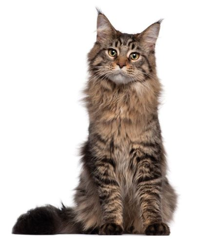 maine-coon-02-74571586-600x693