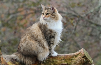 norwegian-forest-cat-main