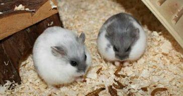 0424e332dca33f4fff6b1f03bf73e3fe--dwarf-hamsters-daughters