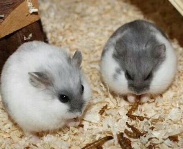 0424e332dca33f4fff6b1f03bf73e3fe--dwarf-hamsters-daughters