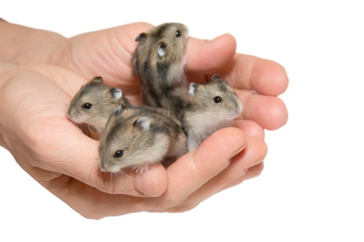 1200-577634454-campbells-dwarf-hamster