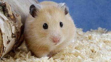 cute-hamster-desktop-background