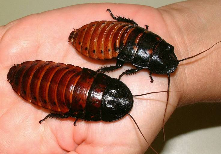 hissing_roaches