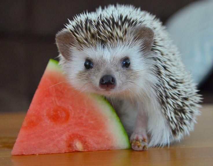 224124855-hedgehog-pictures