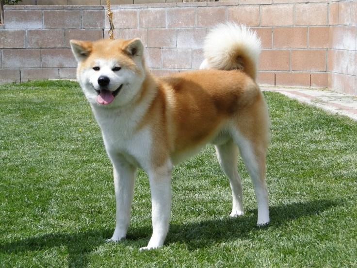 akita-dog-standing