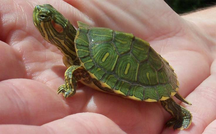 baby-red-eared-slider-turtle-for-sale