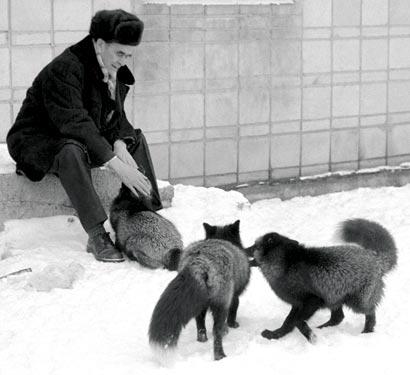belyaev_silver-foxes