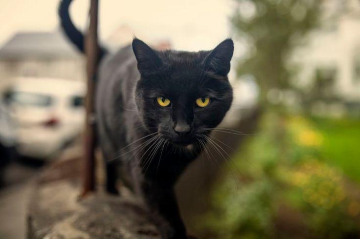 bombay-cat-black-cat-584192512-5808f21c3df78c2c730fe3c1