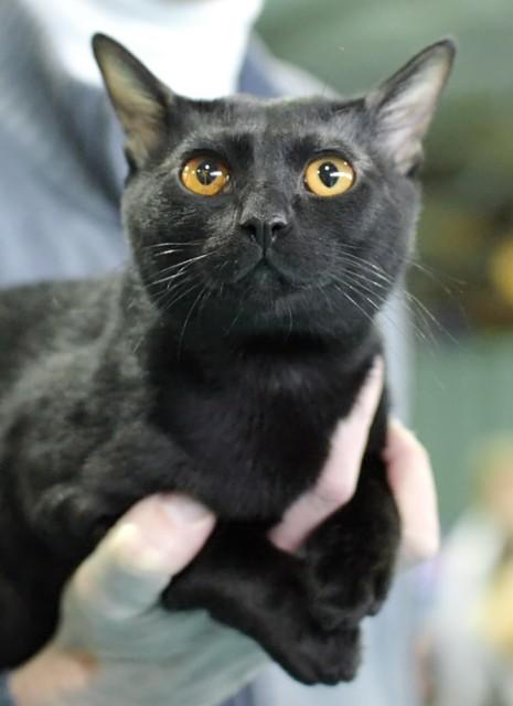bombay-cat2